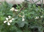 ルッコラしょの花