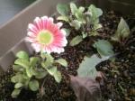 やっと咲いたガーベラ