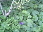 小倉東篠崎教会では もうスミレの花が!