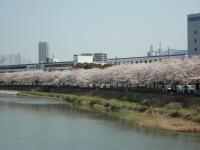 今年の桜は今が満開