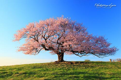 亀が森の一本桜500