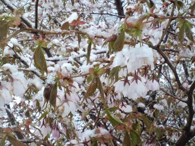 H25.4.25降雪桜アップ