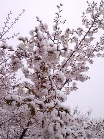 H25.4.25降雪桜