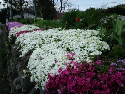 春の花芝桜1