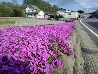 春の花芝桜2