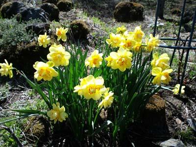 春の花水仙