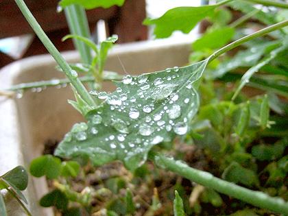 葉の上にたくさんの雨の雫