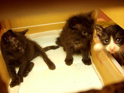 黒猫2にゃんは女の子、白黒柄は男の子