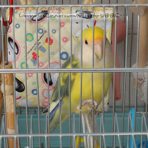 小桜インコのピーチちゃん、4歳になりました 2014-01-28