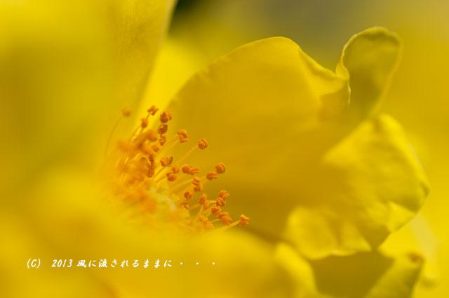2013年6月 長居植物園 薔薇の花1