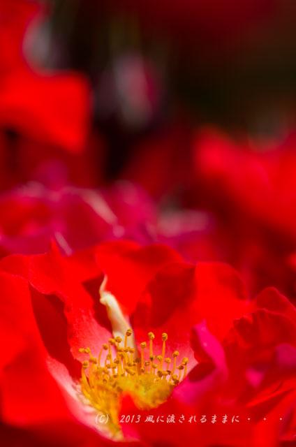 2013年6月 長居植物園 薔薇の花2