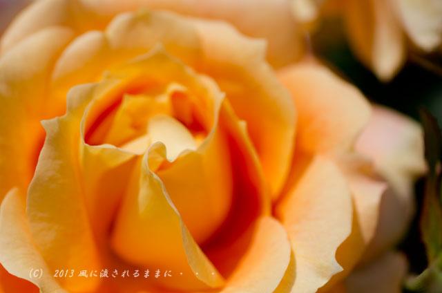 2013年6月 長居植物園 薔薇の花3