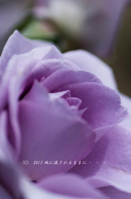 2013_nakanoshima_rose1