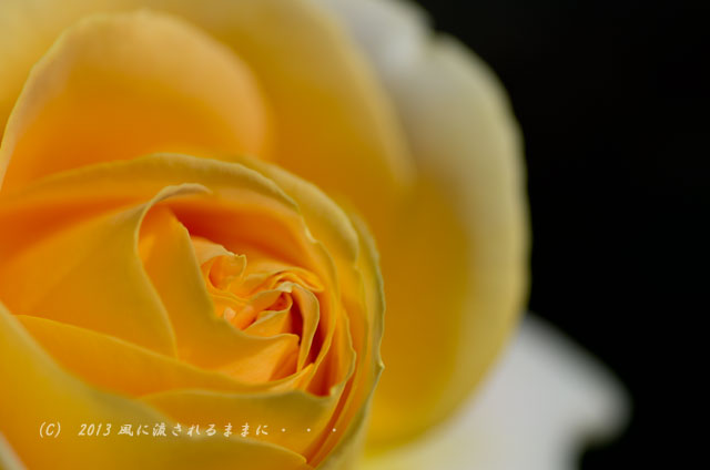 2013_nakanoshima_rose2