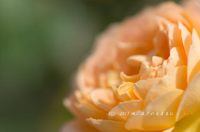 2013_nakanoshima_rose3