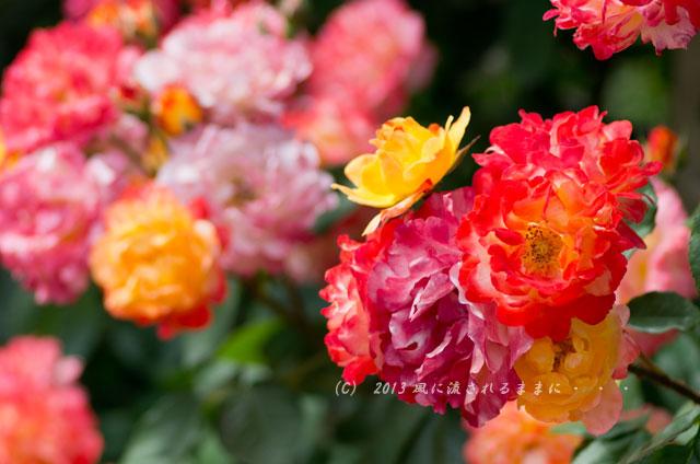 2013_nakanoshima_rose4