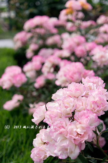 2013_nakanoshima_rose5