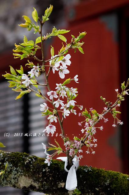 2013年 桜を探して・・・ 奈良・談山神社の桜8
