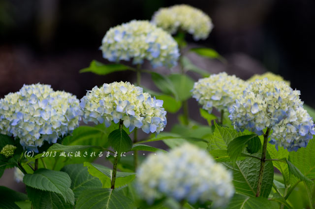 2013年 智積院 アジサイの花1