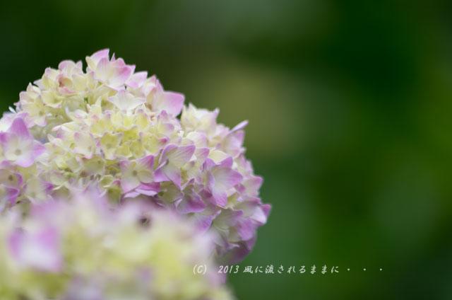 2013年 智積院 アジサイの花2