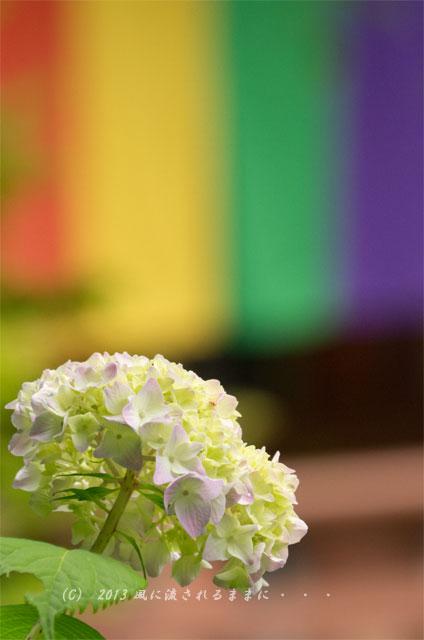 2013年 智積院 アジサイの花3