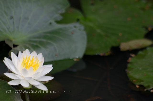 2013年 京都・智積院(ちしゃくいん) 睡蓮の花1