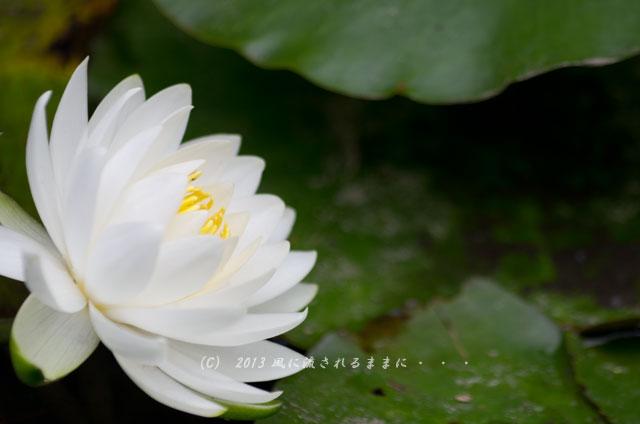 2013年 京都・智積院(ちしゃくいん) 睡蓮の花2