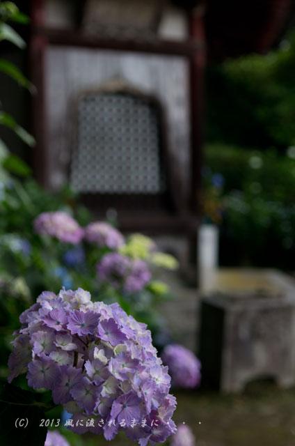 2013年 奈良・矢田寺のアジサイ15