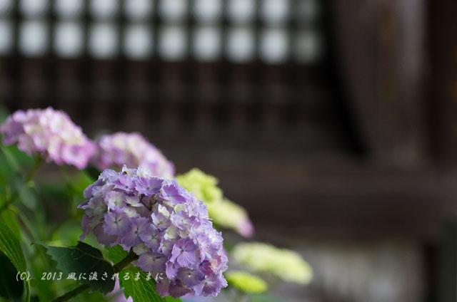 2013年 奈良・矢田寺のアジサイ16