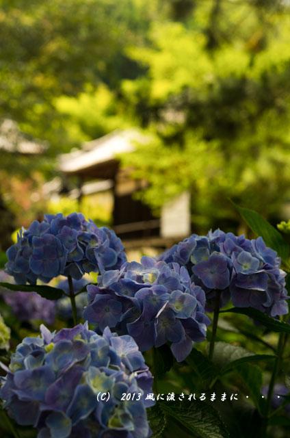 2013年 奈良・矢田寺のアジサイ8