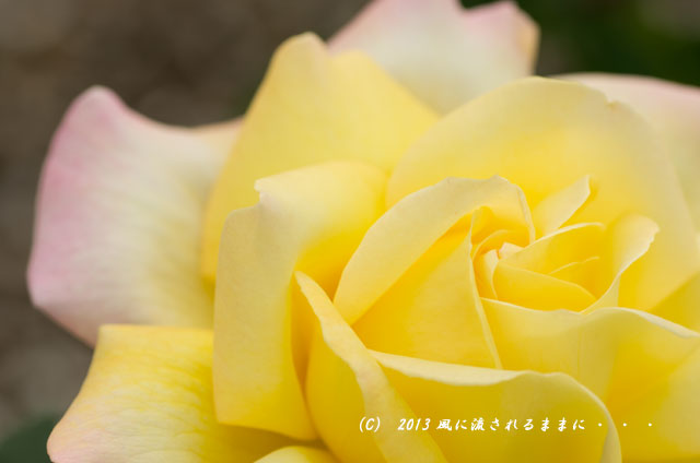 2013年 浜寺公園 バラの花 1