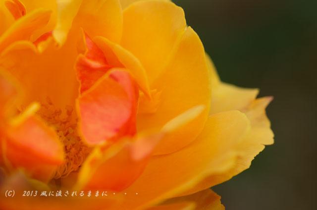 2013年 浜寺公園 バラの花2