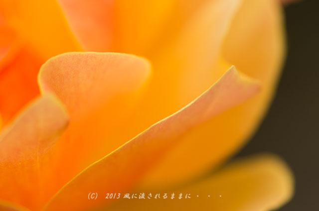 2013年 浜寺公園 バラの花3