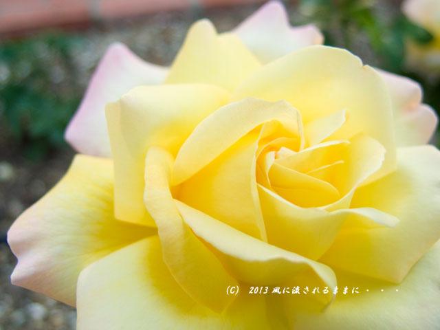 2013年 浜寺公園 バラの花5