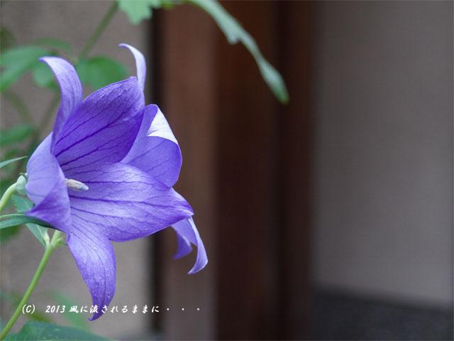 ペンタックス MX-1で撮る 京都・花見小路 桔梗の花