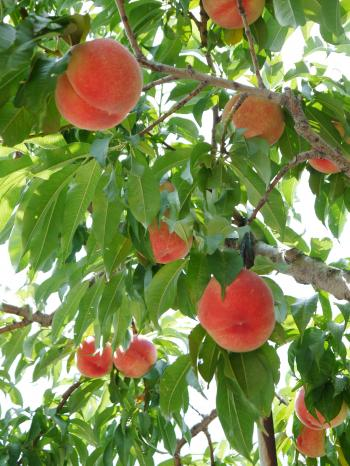 20130730桃がなってる