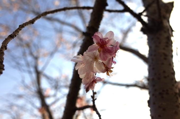 桜1117