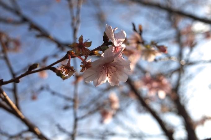 桜1117-2