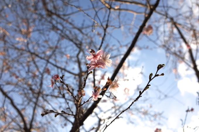 桜1117-3