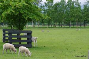 十勝千年の森 羊たち1