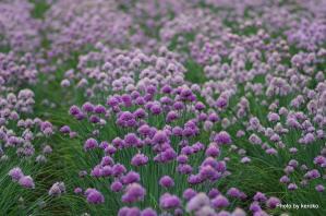 ファーム富田 紫のねぎぼうず