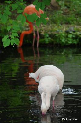 旭山動物園 フラミンゴ