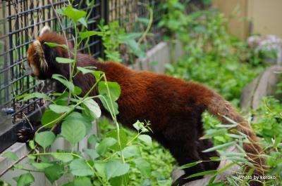 旭山動物園 レッサーパンダ3