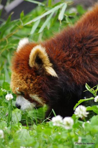旭山動物園 シロツメクサとレッサーパンダ