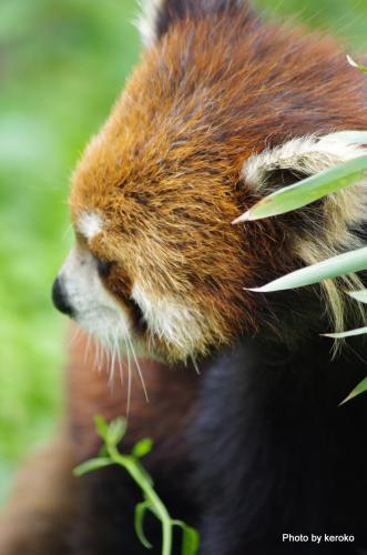 旭山動物園 レッサーパンダ2