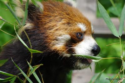 旭山動物園 レッサーパンダ5