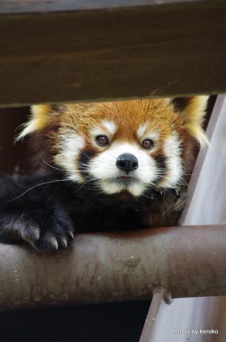 旭山動物園 レッサーパンダ6