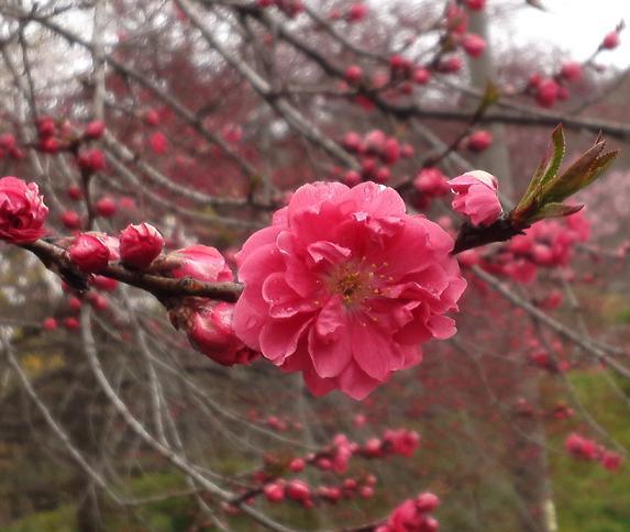 緋い桜 (2)