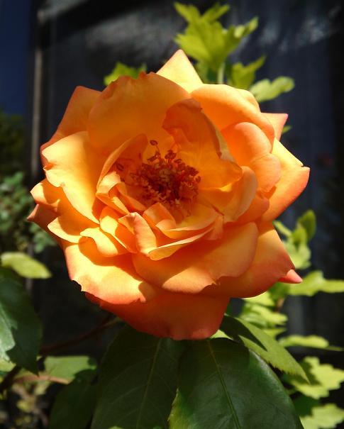 アンネのバラ咲いた