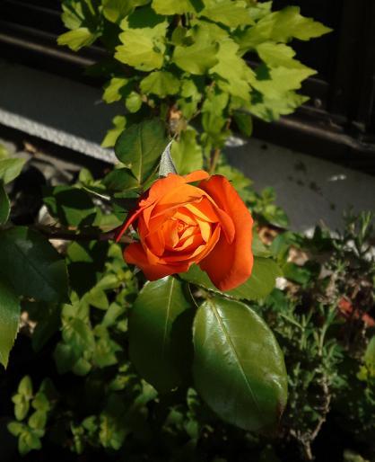 アンネのバラ咲いた (2)